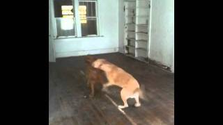 Funny Dogs Playing. Yellow Lab & Golden Retriever