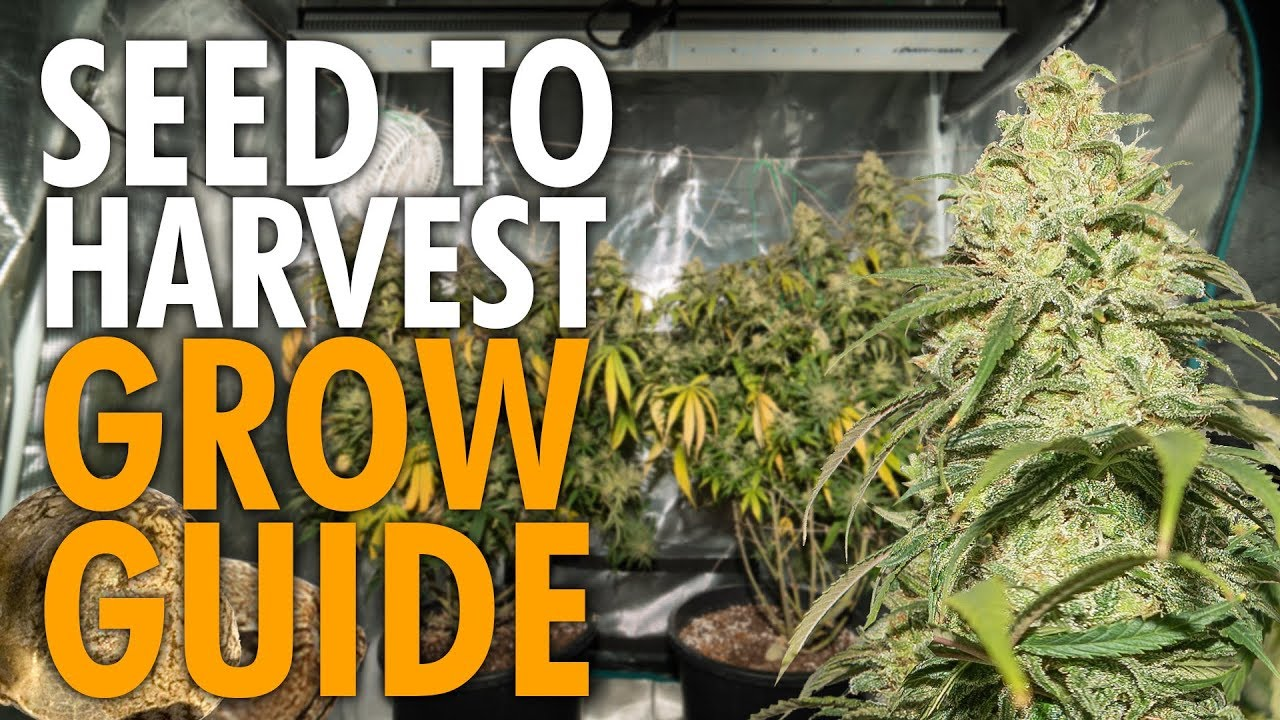 Growing Weed Start to Finish Beginners Guide