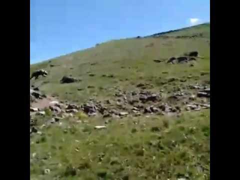 Ağrı Taslıcayın bir köyüne bağlı mezrada AYI görüldü.DİKKAT!