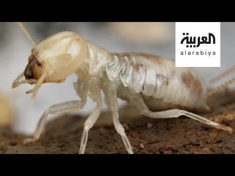 كيف نتخلص من النمل الأبيض في منازلنا؟  - نشر قبل 4 ساعة