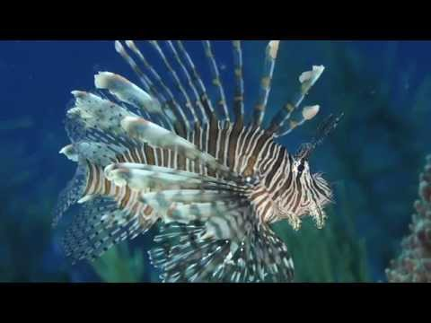 Science In Action: Invasive Lionfish | California Academy Of Sciences
