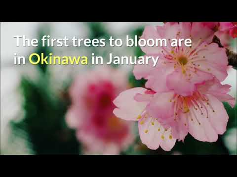 Cherry Blossom Forecast 2019 - You Could Travel Mp3