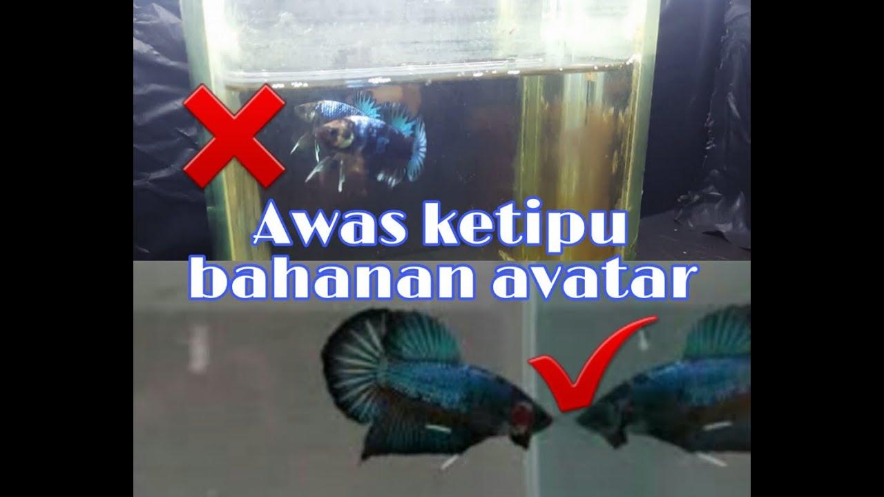 Bahanan Ikan Cupang Avatar Usia 2 5 Bulan Youtube