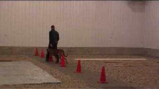Rhodesian Ridgeback Jackson - Boot Camp Dog Training Graduate