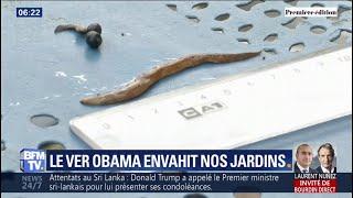 """Venu du Brésil, l'indésirable ver """"Obama"""" envahit les jardins un peu partout en France"""