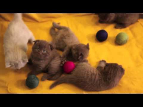 Шотландская вислоухая кошка Скоттиш фолд фото, цена