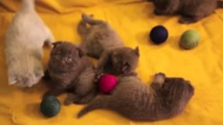 8-916-682-32-93 Продаются элитные шотландские вислоухие котята шоколадного окраса. Москва. Питомник.