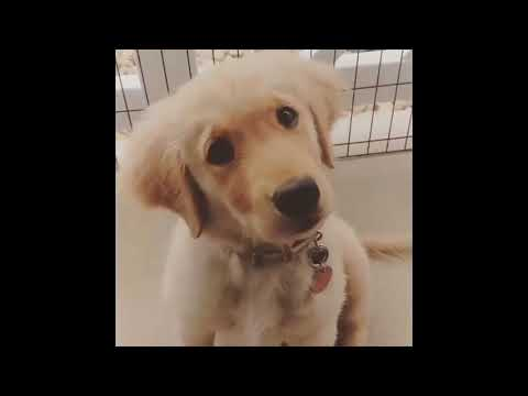 [Babies And Pets] Best of Funny Golden Retriever Videos #3 - Funniest Dog Compilation 2017