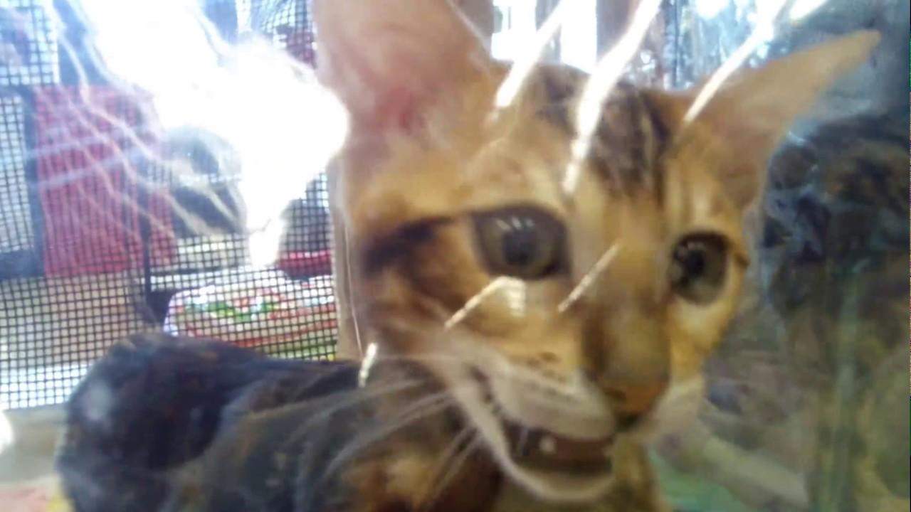 Выставка кошек Экспокот 2011 81 фото  Триникси