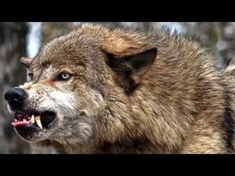 Wolfdog Hackles