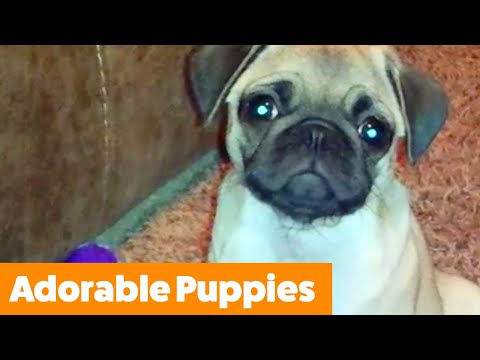 Funniest And Cutest Puppies | Funny Pet Video