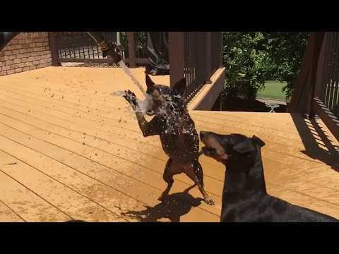 Manchester Terrier's Boomer and Diva Attacking Water - Protect your dogs with MistAway