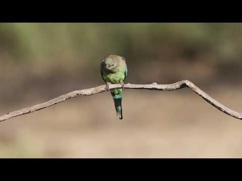 A Female Mulga Parrot (Psephotus varius)