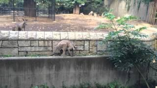 2015/10/24 溝に落ちた横浜市立金沢動物園のカンガルーが復帰するまで。...