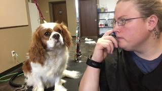 Cavalier King Charles Spaniel Groom | VERY CALM PUPPY GROOM