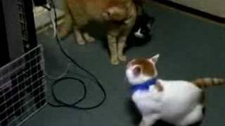 Please see the scene of a quarrel of the cat kept at my home. This ...