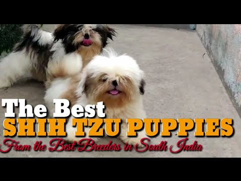 India's Top Shih Tzu Puppies from the Best Breeders in South India. Show Quality Top of the Line Pup