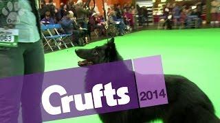 Best of Breed | Belgian Shepherd Dog | Crufts 2014