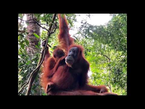 As High-Profile Conservationists Including Ed Begley Jr. Continue To Fight To End The Destruction Caused By The Palm Oil Industry, History-Making Bill To Protect Orangutans & Their Rainforest Habitat Advances In California Senate