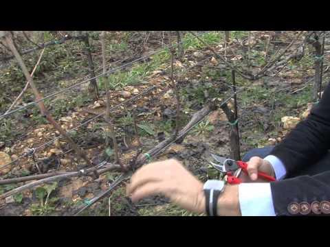 La potatura viti a cordone speronato