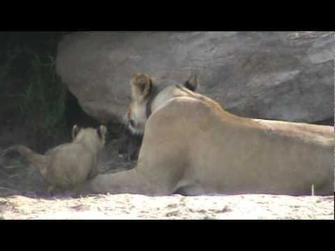 Lioness and lion cubs at Tarangire National Park, Tanzania, November 19, 2011: 5/6