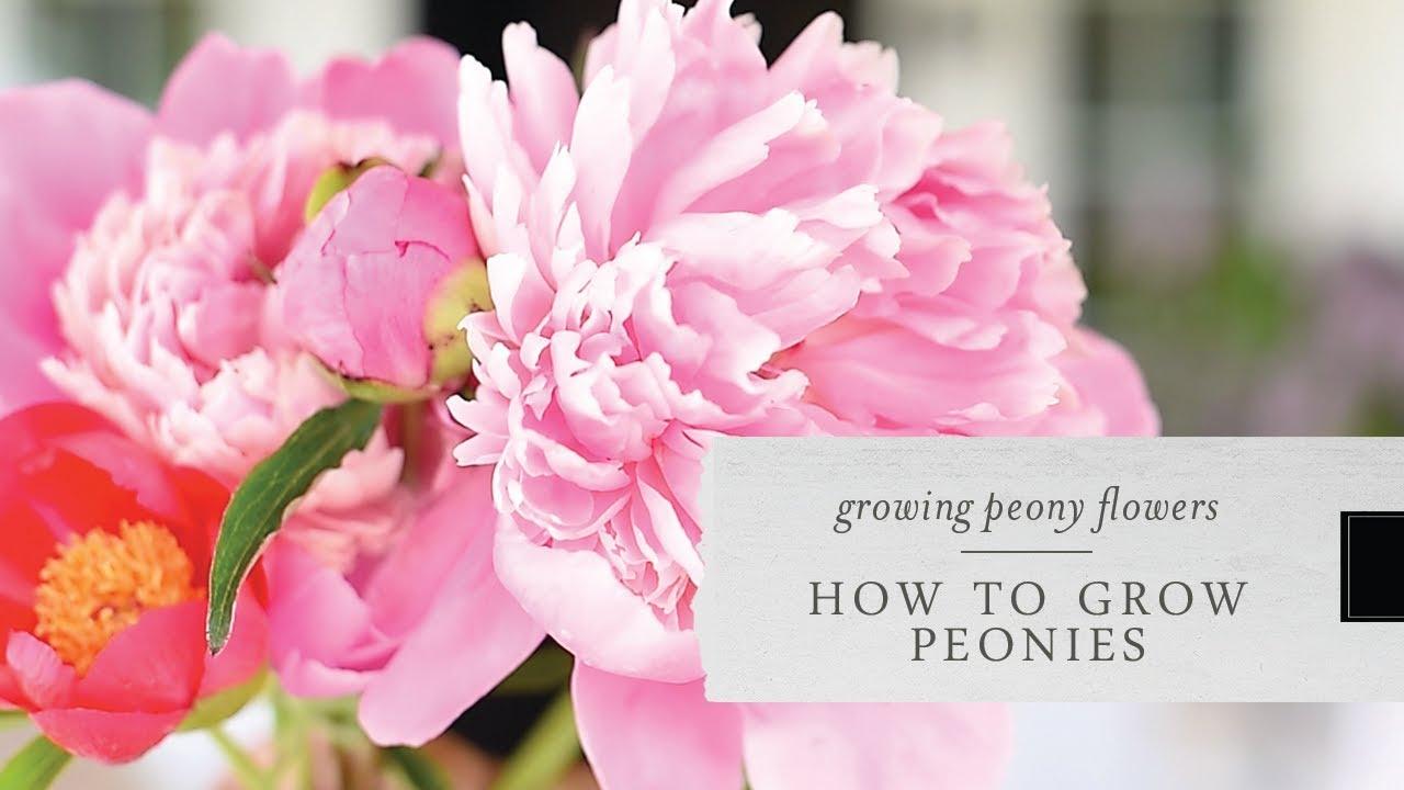 How To Grow Peonies Growing Peonies In Your Garden Youtube
