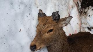 ご理解のある方のみ自己責任でご覧ください。 銃猟で捕獲したオス鹿の角...