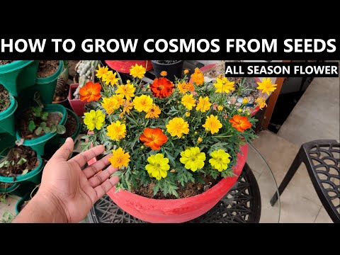 How to Grow Cosmos From Seed | ALL SEASON FLOWER