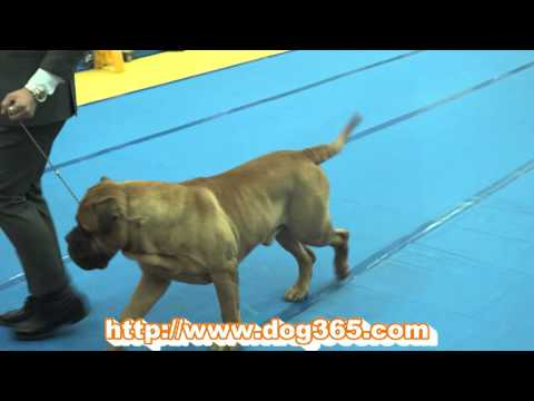 2016.02.21.KKF NAMICHEON DOG SHOW-Bull Mastiff