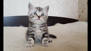 Скотиш страйт котенок мальчик продается в Новосибирске