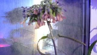 Цветущий Каланхоэ Дегремона. Flowering Kalanchoe Daigremontiana. ч.1(Цветёт с декабря 2015 года и по настоящий момент (видео от 11-04-2016), 2016-04-11T21:09:30.000Z)
