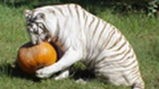 BIG CAT HALLOWEEN!