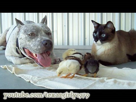 "AMAZING! PitBull, Cat & Chicks! ""I Want You to Want Me"" HelensPets.com"