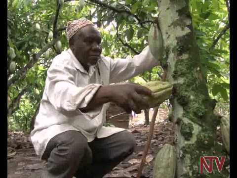 On The Farm: Earning from cocoa farming in Bundibugyo