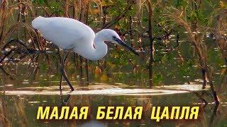 Малая Белая Цапля ловит Рыбу / Little Egret fishing