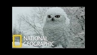 Best Attacks Of Wild Animals 2017 - Snowy Owl | Nat Geo Wild [HD] thumbnail