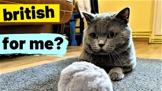 Tom's Funny Cat videos - British Shorthair #04