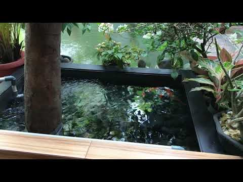 kolam ikan koi minimalis dari plastik , ikan pada sehat