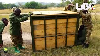 UWA Translocates Animals from Lake Mburo National Park to Katonga Wildlife Reserve thumbnail