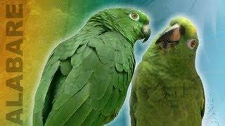 Parrot (Animal)