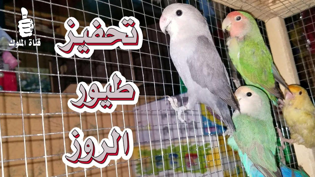 تحفيز طيور الحب الروز على التزاوج بهذا التغريد Youtube