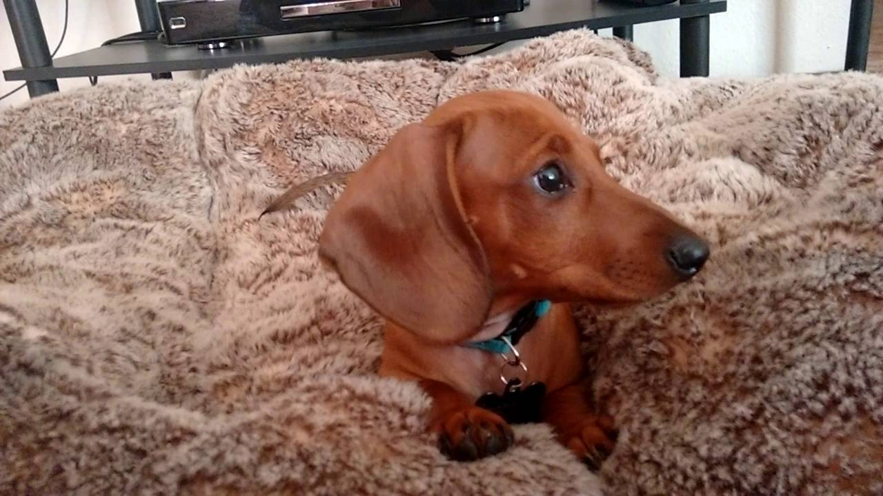 12 Week Old Buster The Miniature Dachshund Tries Peanut