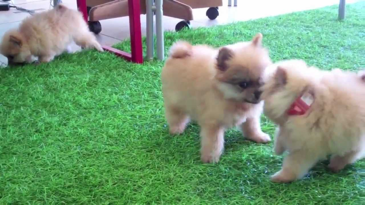 pomeranian san diego teacup pomeranian puppies for sale in san diego ca youtube 3913