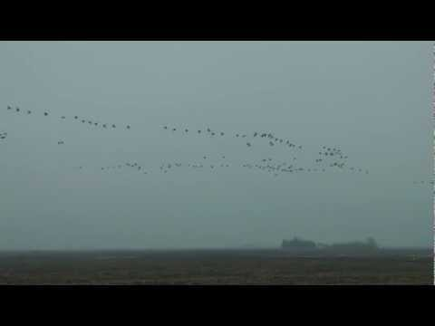 Awesome Canada Geese group up for their annual fall migration. Small flocks grow into travelers.
