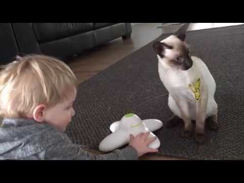 Cornish Rex cats kittens play with butterfly toy.