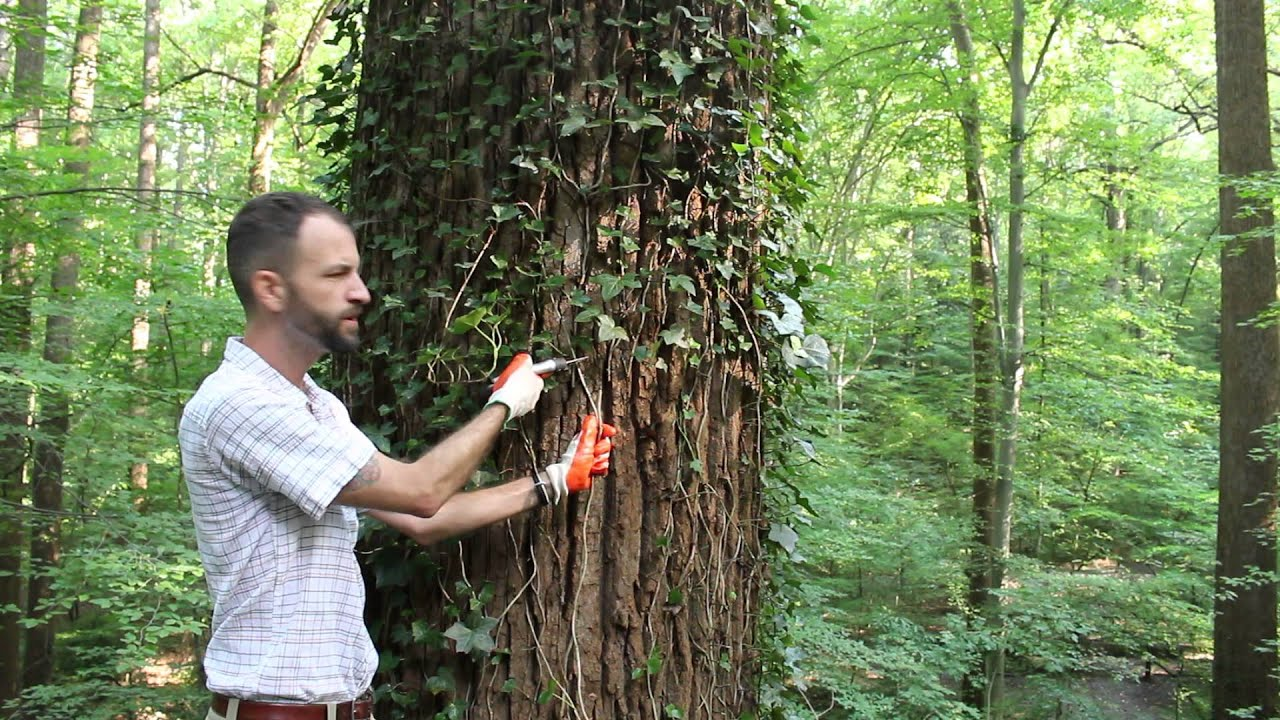 English Ivy Removal How To With Fernbank Ecologist Youtube