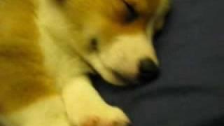 Pepsi - Sleeping Pembroke Welsh Corgi Puppy