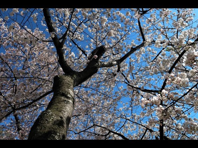 this-year-s-cherry-blossoms-in-360-degrees