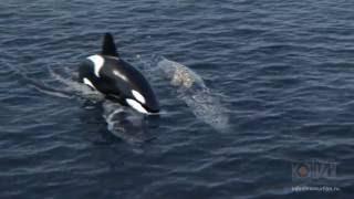 Серые киты и косатки, 3D анимация,  симуляция воды