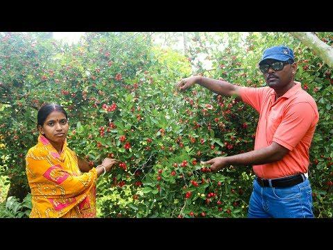 Karonda Fruit Harvesting in India - Carissa Carandas Garden Tour in Hindi - Karanda Harvesing